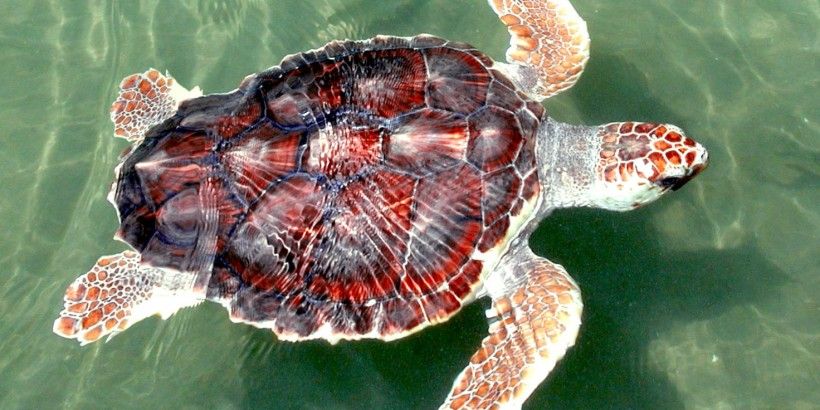 Loggerhead Sea Turtle.
