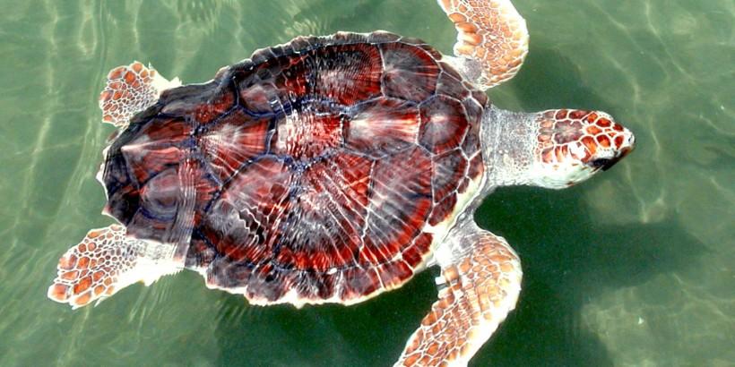 Loggerhead Sea Turtle.