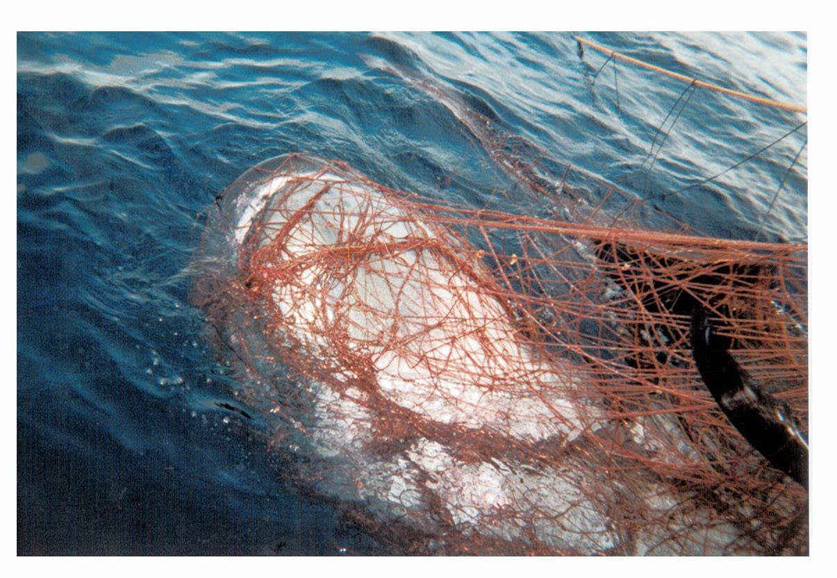 California Drift Gillnet Bycatch