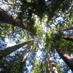 redwoods-lag