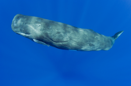 Feds Clamp Down on Whale Kills in California's Drift Gillnet Fishery