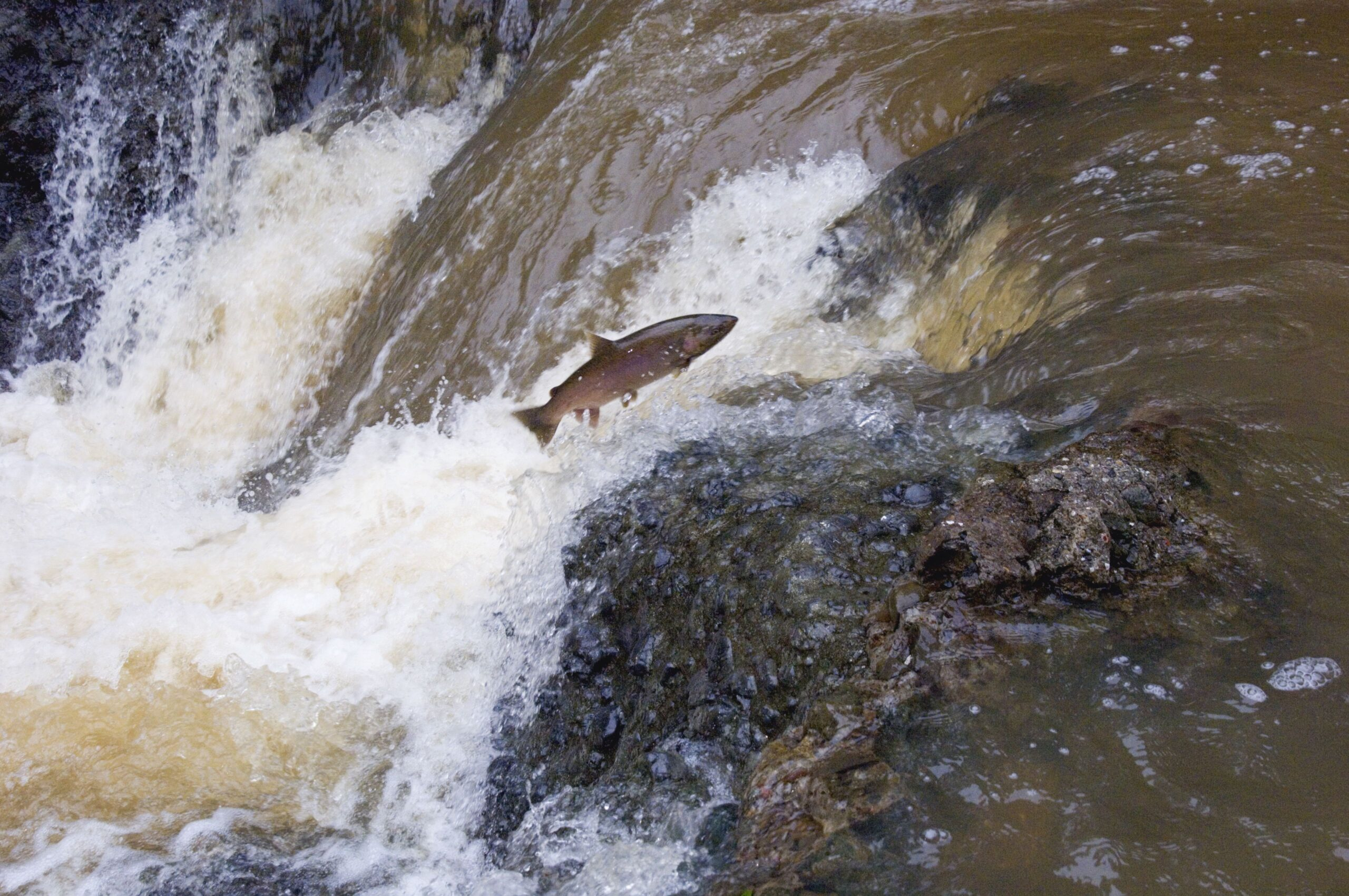 Conflicted Marin Supervisors Add Sudden Death Clause to Salmon Ordinance