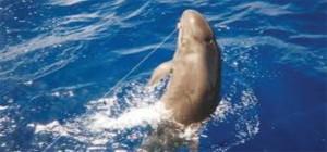 Hawaiian False Killer Whale hooked on a longline. Photo by National Marine Fisheries Service.