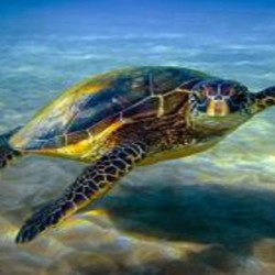 Hawaiian green sea turtle or honu. Photo copyright Anita Wintner.