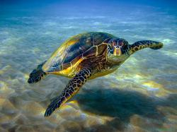 Hawaiian green sea turtle or honu. Photo copyright Anita Wintner.