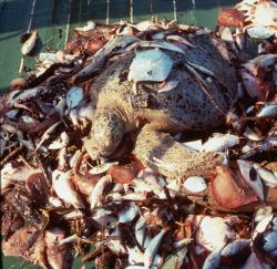 Green turtle trawler