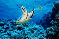 A beautiful hawksbill swimming along a coral reef inspires action to protect pristine ocean habitats! Photo: (C)Doug Perrine/SeaPics.com