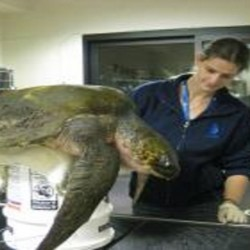 Olive ridley sea turtle found cold-stunned at Stinson Beach, CA is stabilized at the Marine Mammal Center. (Photo by Marine Mammal Center)