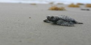 Kemp's ridley hatchlings in Texas are now headed to the Gulf where the BP spill may end their journey. Photo National Park Service, Cynthia Rubio