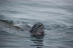 The global population of the Pacific leatherback sea turtle has declined sharply because of commercial fishing, egg poaching and habitat destruction. Photo: Peter Winch, Oceanic Society / SF
