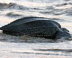 leatherback-web
