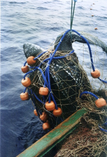 International Red List Ranks Pacific Leatherback Sea Turtles as Critically Endangered