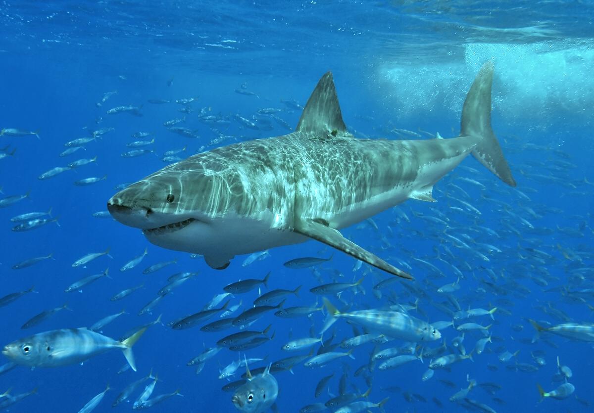 International Call to Halt Shark Cull in Western Australia