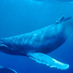 800px-Humpback_Whale_underwater_shot