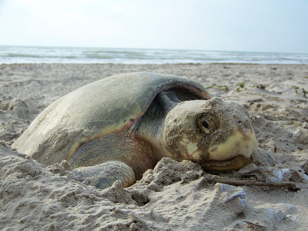 Updated Daily: Kemp's Ridley Sea Turtle Nest Counts on the Texas Coast
