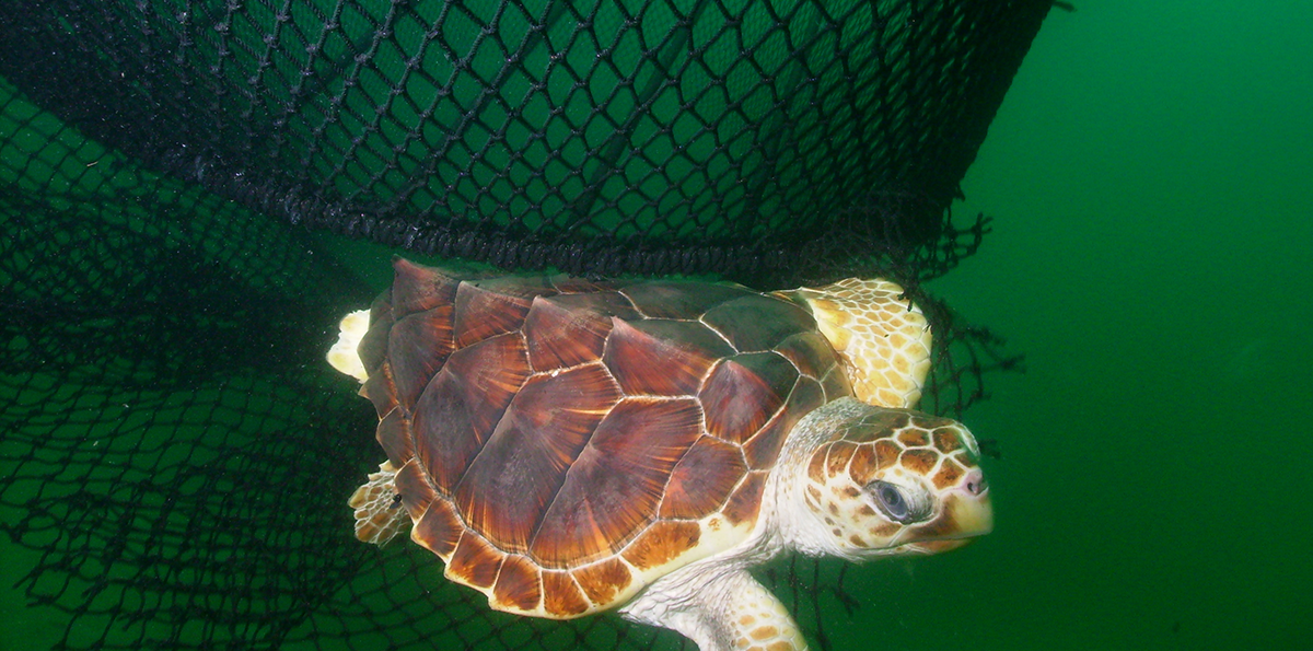 Louisiana Takes First Step To Reversing State Ban on Enforcing Federal Sea Turtle Protection Laws