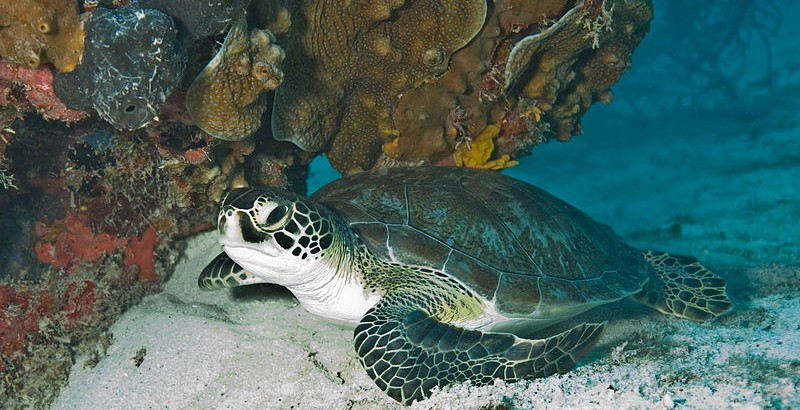 International Sea Turtle Society Calls On Australia to Protect Sea Turtles from Industrialization of Great Barrier Reef