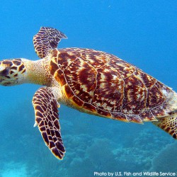Hawksbill_Sea_Turtle_Carey_de_Concha_(5840602412)