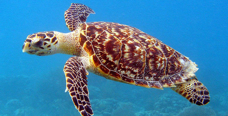 Hawksbill_Sea_Turtle_Carey_de_Concha_(5840602412)