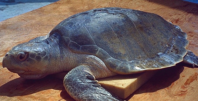 International Sea Turtle Society Calls On Mexico Stop Endangered Sea Turtle Bycatch in Fishery