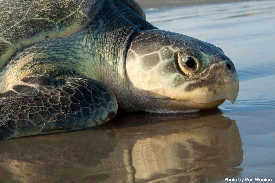 Sea Turtles in Texas Texas Sea Turtle Nesting Beach