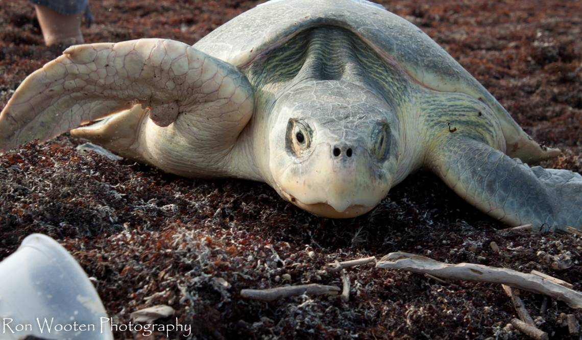 Group: Seaweed, removal efforts posing a threat to sea turtles