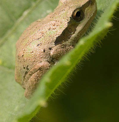 wiki-pacific-tree-frog