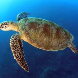 Australia-pacific-loggerhead-web
