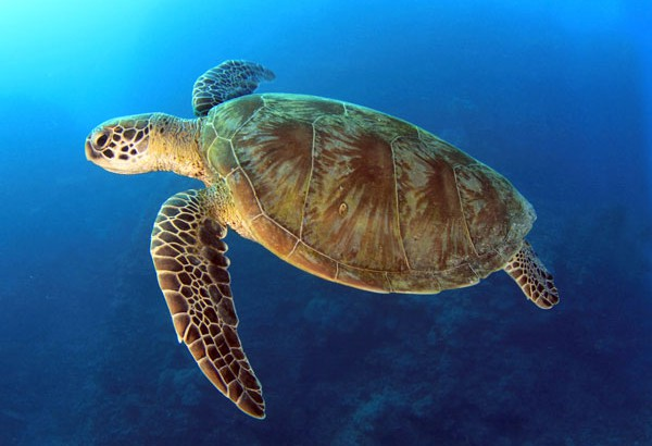 loggerhead sea turtle South carolina designated the migrating loggerhead sea turtle (caretta caretta)  as the official state reptile in 1988 listed as threatened can weigh over 200.