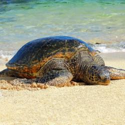 Green-turtle-Hawaii