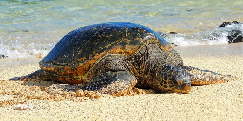 Green-turtle-Hawaii