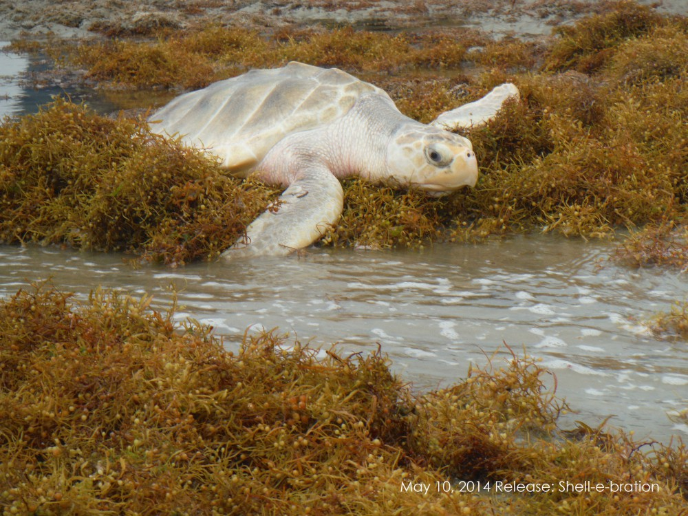 Are You Ready to Tell the Kemp's Ridley Sea Turtles Goodbye!
