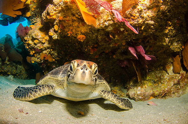 Loggerhead-coral-web