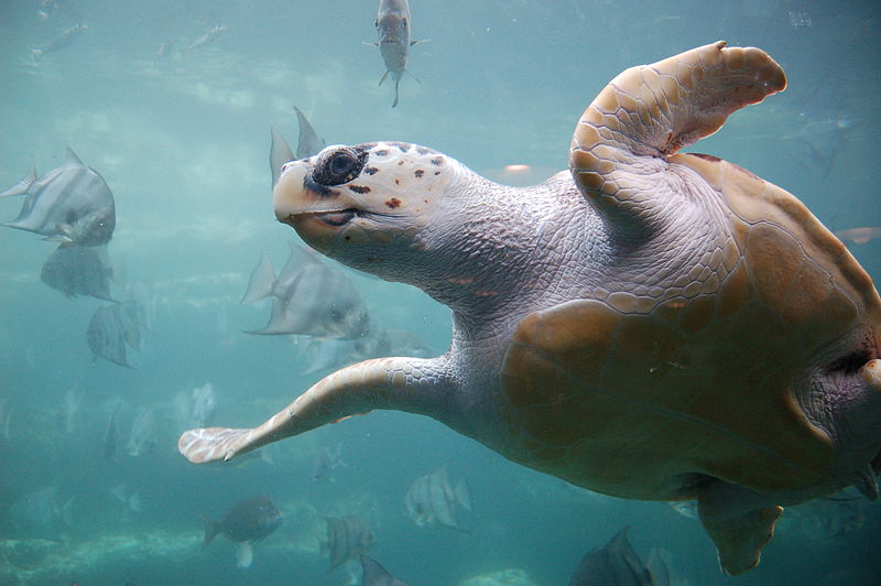 Request for Immediate Compliance with Regulatory Measures Necessary to Protect Loggerhead Sea Turtles from the California Drift Gillnet Fishery During an El Niño Event; 50 C.F.R. § 660.713(c)(2)