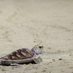 green-sea-turtle-on-beach