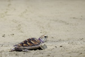 green-sea-turtle-on-beach