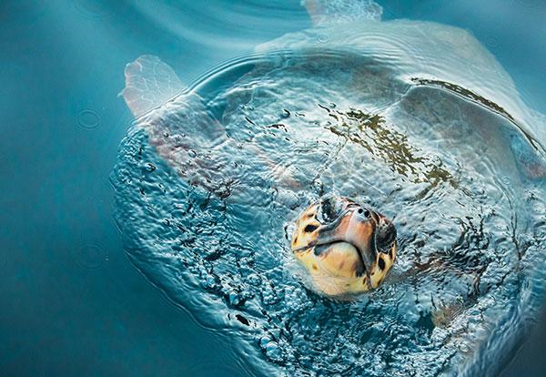 Loggerhead Sea Turtles Win Room to Roam, Habitat Protection