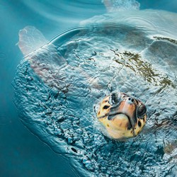loggerhead-coming-up-for-air-web