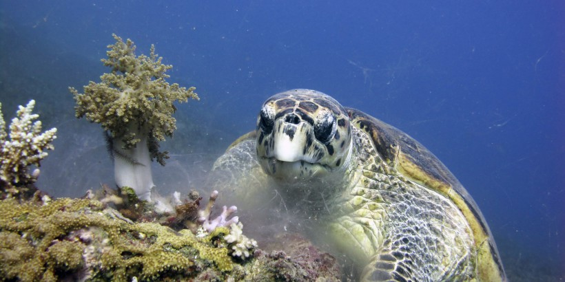 loggerhead-feeds-on-coral