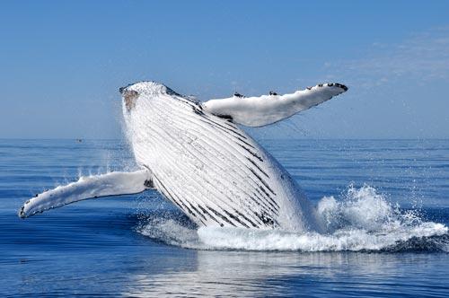 Saving Humpback Whales