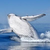 Humpback-whale-breaching-web