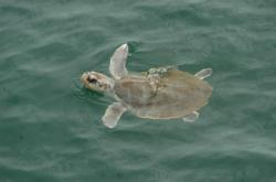 Endangered Sea Turtle in Jeopardy of Extinction
