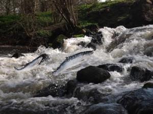 Salmon-jumping-waterfall-web