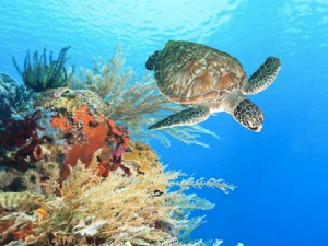 Sea-turtle-coral-reef-web