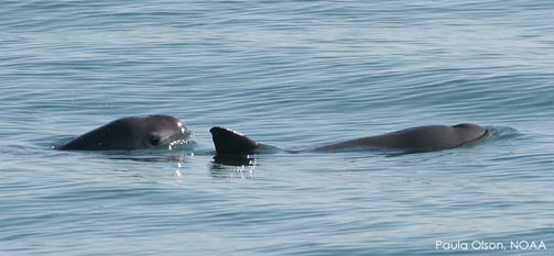Turtle Island Calls for Protections for the Vaquita