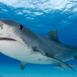 Tiger-shark-bahamas