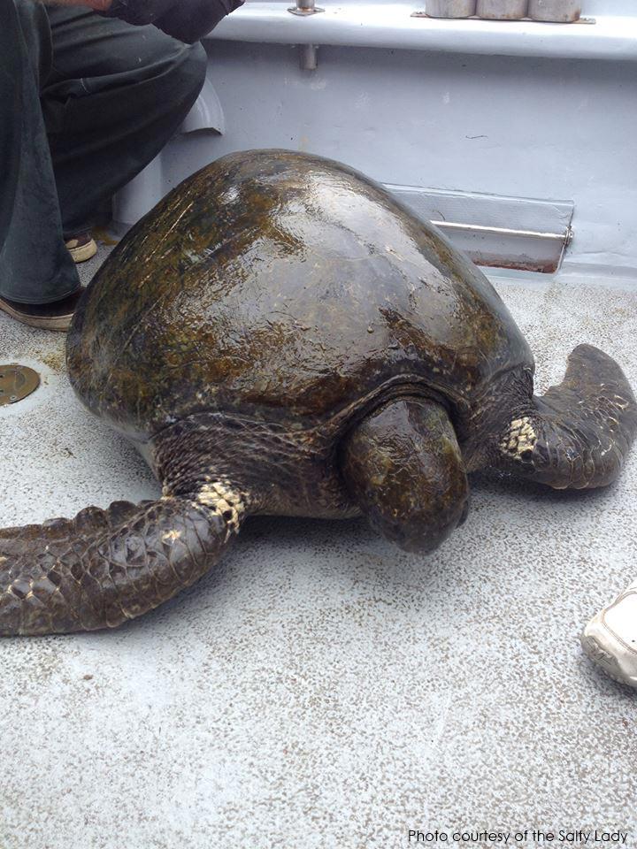 Sausalito Fishermen Find Rare Sea Turtle