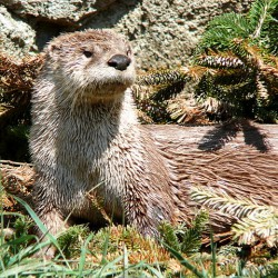 480px-River_Otter-27527