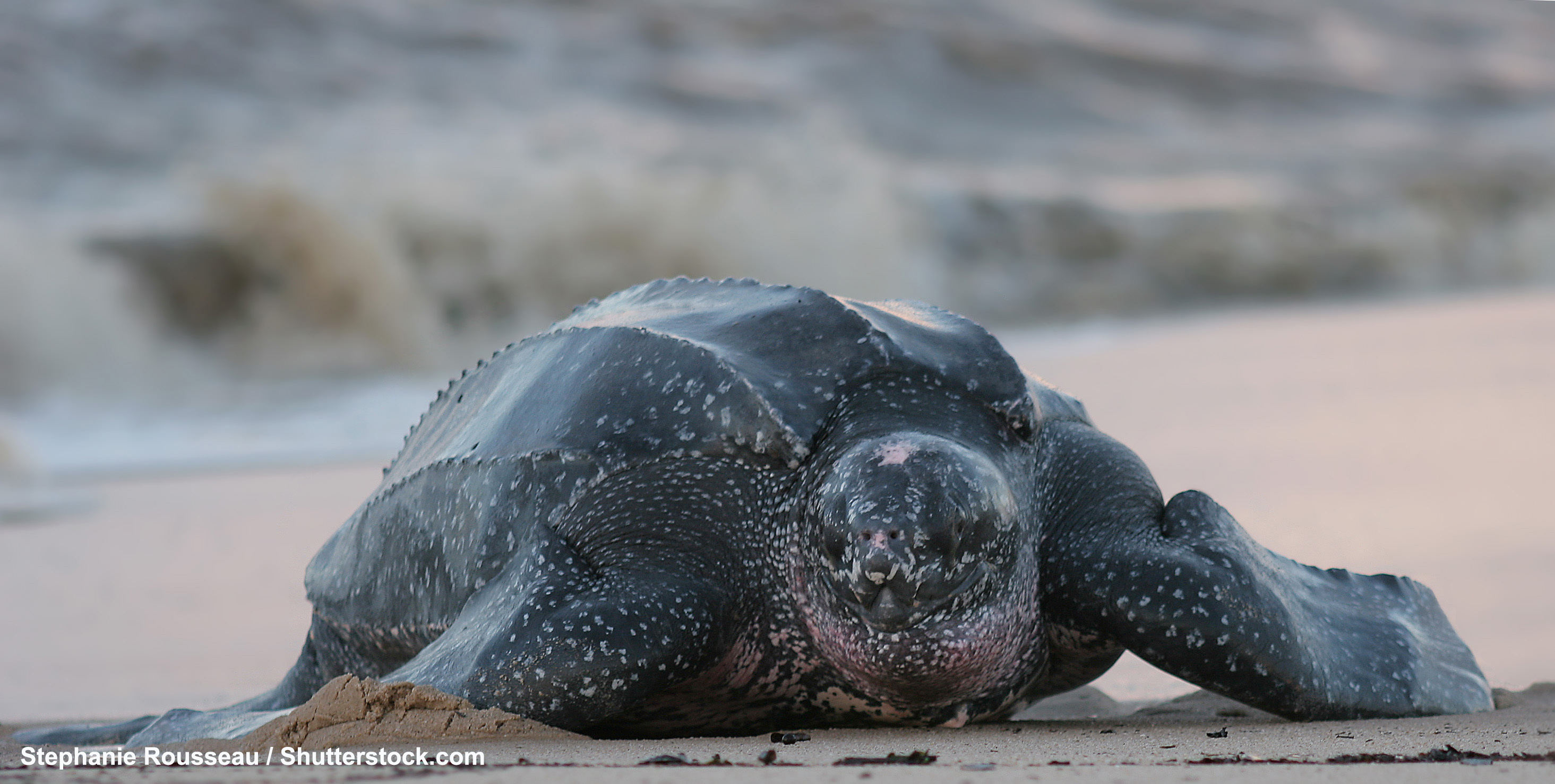 Oct. 15th is Pacific Leatherback Sea Turtle Conservation Day