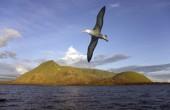 black-brown-albatross-WEB